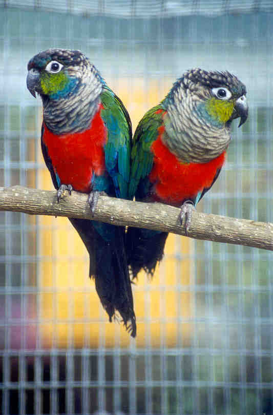 Crimson-bellied Conure Facts, Care as Pets, Price, Pictures