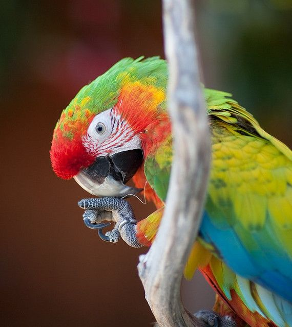 Shamrock Macaw Facts, Care as Pets, Feeding, Price, Pictures