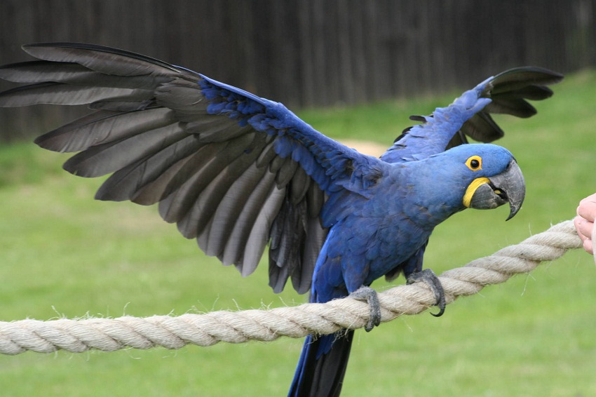 Hyacinth Macaw Facts, Care as Pets, Housing, Diet, Images ...