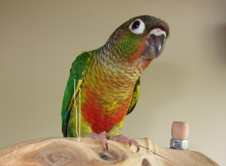 Green Cheek Conure Facts, Diet, Mutation, Lifespan, Care as Pets, Video