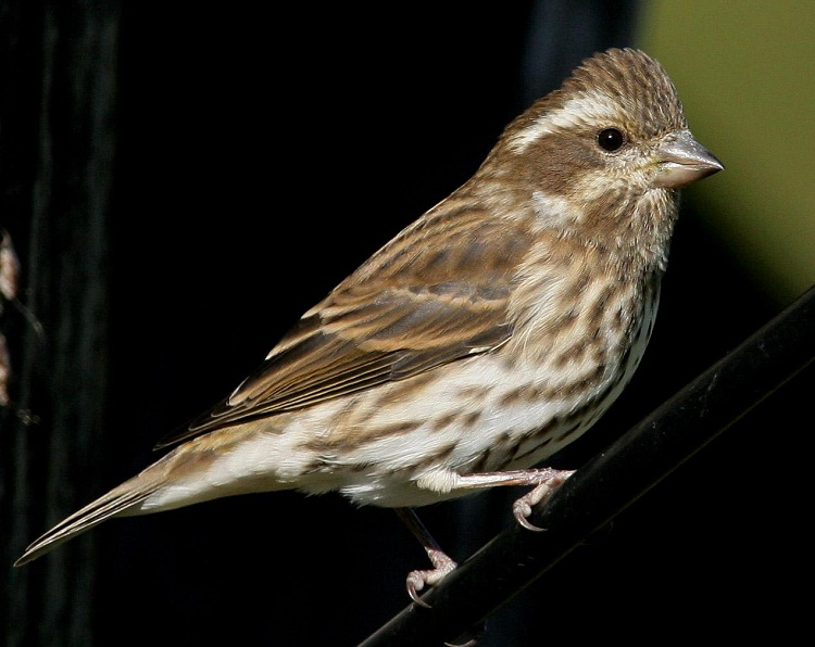 Purple Finch Facts, Behavior, Care as Pets, Prices and ...