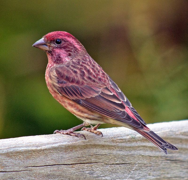 Purple Finch Facts, Behavior, Care as Pets, Pictures