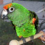 how to take care of a rainbow lorikeet