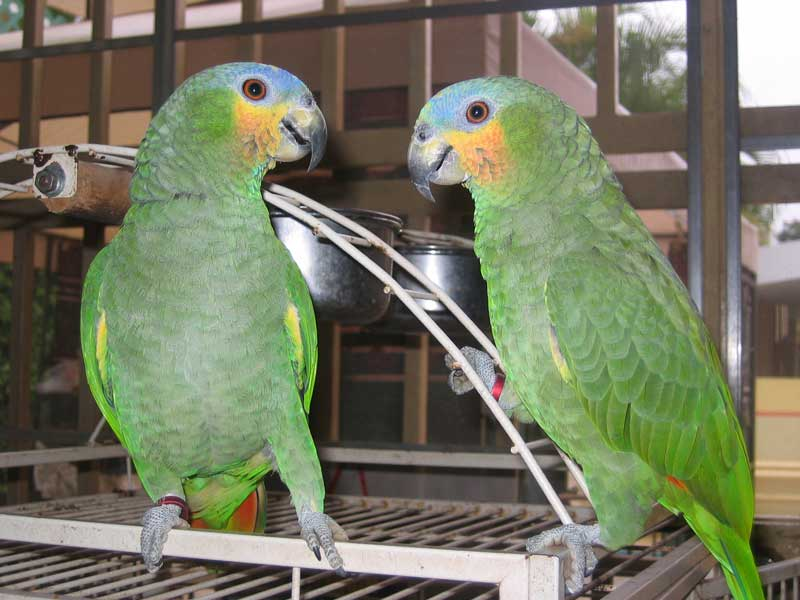 Orange Winged Amazon Facts Care As Pets Pictures