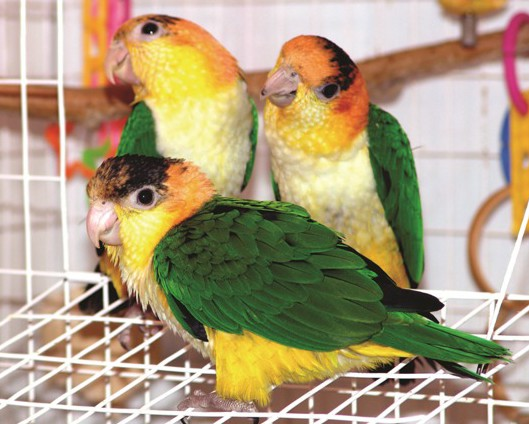 White-bellied Caique facts, Care as Pets, Pictures